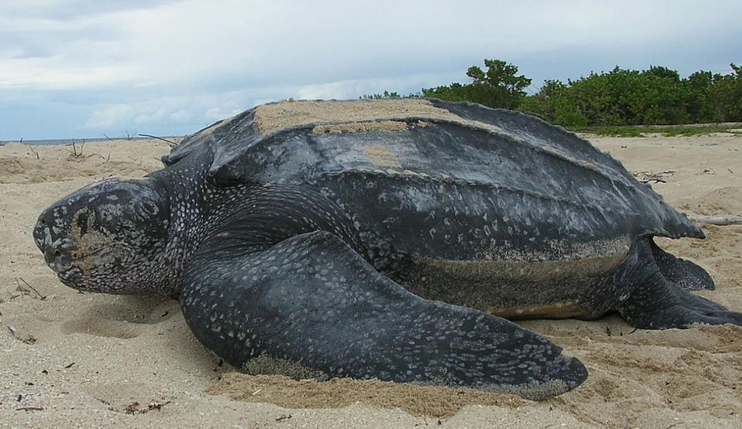 leatherback copy