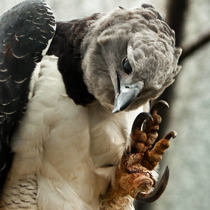 massive bird harpy eagle 595a146d4400e 700