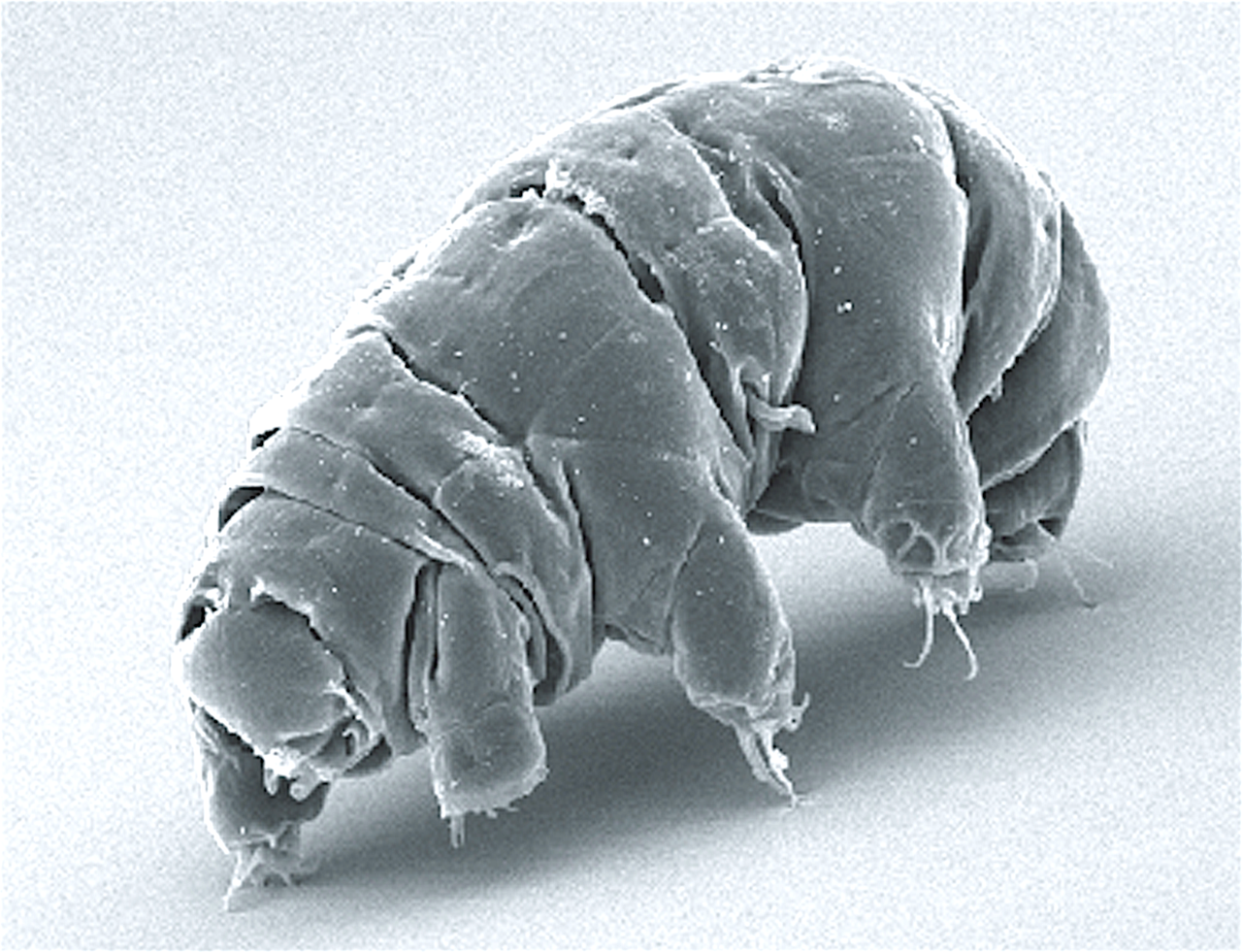 1280px SEM image of Milnesium tardigradum in active state journal.pone.0045682.g001 2 wikipedia