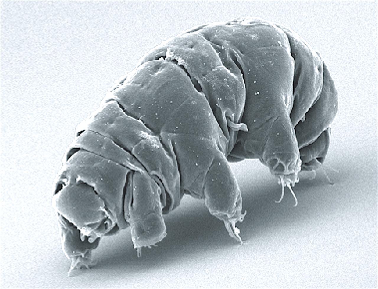 1280px SEM image of Milnesium tardigradum in active state journal.pone.0045682.g001 2 wikipedia