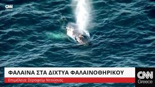 Φάλαινα στα δίχτυα φαλαινοθηρικού