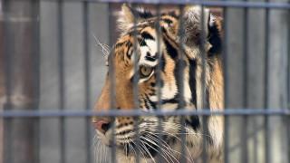 Μεθυσμένη γυναίκα προσπάθησε να χαϊδέψει τίγρη
