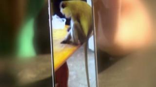 Η μαϊμού το'σκασε και προκάλεσε κομφούζιο