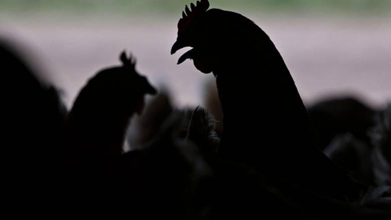 Γαλλία: Σε δυο φάρμες εντοπίστηκε ο ιός της γρίπης των πτηνών