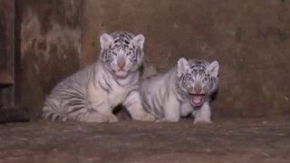 Δύο λευκά τιγράκια «κλέβουν» την καρδιά της Κίνας