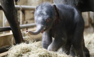 Το ελεφαντάκι της Πρωτοχρονιάς στο ζωολογικό κήπο Tierpark