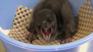 Νεογέννητος πιγκουίνος παίρνει το όνομα του Μπάουι