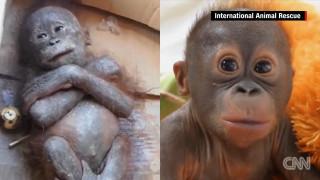 Δεύτερη ευκαιρία ζωής για ένα μωρό ουρακοτάγκο