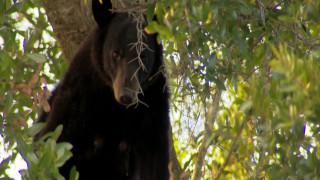 Αρκούδες «καταληψίες» τρομοκρατούν γειτονιά της Φλόριντα