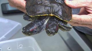 Μία παράξενη... δικέφαλη χελώνα!