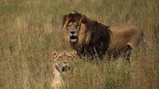 Άγνωστος πληθυσμός λιονταριών εντοπίστηκε στην Αιθιοπία