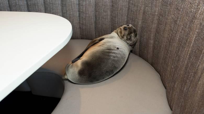 Θαλάσσιο λιοντάρι βρήκε… καταφύγιο σε εστιατόριο του Σαν Ντιέγκο