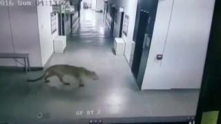 Λεοπάρδαλη βολτάρει στους διαδρόμους σχολείου
