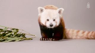 Ένα κόκκινο panda που ανήκει στην οικογένεια των ρακούν