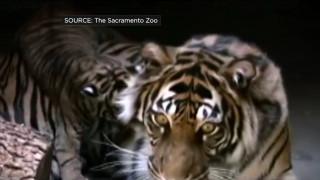 Μάχη μέχρι θανάτου μεταξύ δύο τίγρεων