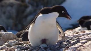 Παγόβουνο «σκότωσε» 150.000 πιγκουίνους