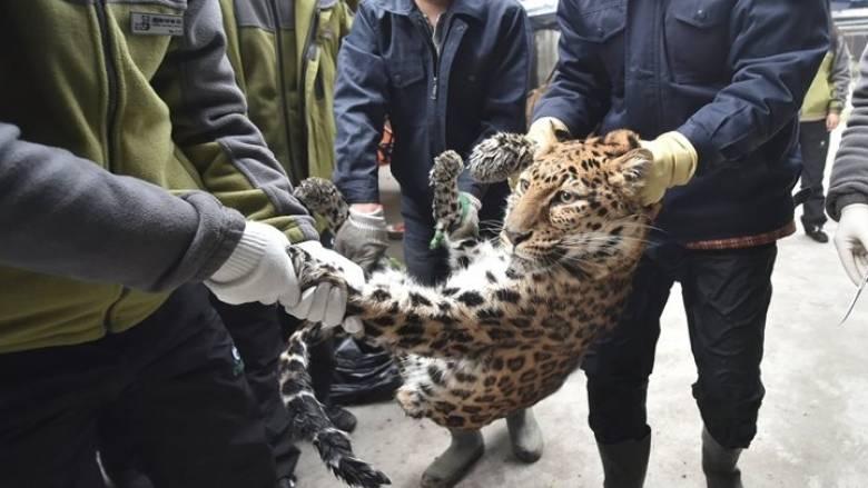 Η λεοπάρδαλη που τρομοκράτησε τους Ινδούς ξαναδραπέτευσε!
