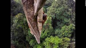 """Tough Times for Orangutans"" (Δύσκολοι καιροί για ουρακοτάγκους) από τον Tim Laman. Ένας ουρακοτάγκους ανεβαίνει ένα δέντρο στο Εθνικό Πάρκο Gunung Palung της Ινδονησίας, στις 12 Αυγούστου. Φωτιές, αποψίλωση δασών και το παράνομο εμπόριο ζώων έχουν σαν απ"