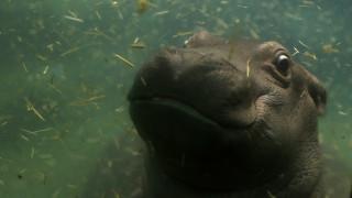 Πράγα: Ο ιπποπόταμος Μαρούσκα κάνει μπάνιο με το μωρό της