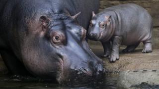 Μαμά ιπποπόταμος με το μωρό της