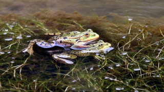 Οι ελληνικοί βάτραχοι που συναντάς σε ποτάμια και λίμνες