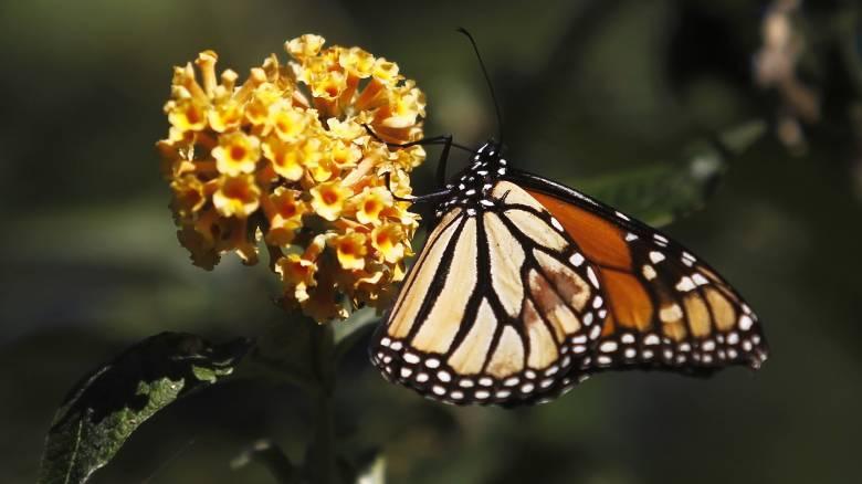Πεταλούδα μονάρχης: Ο μετανάστης των εντόμων