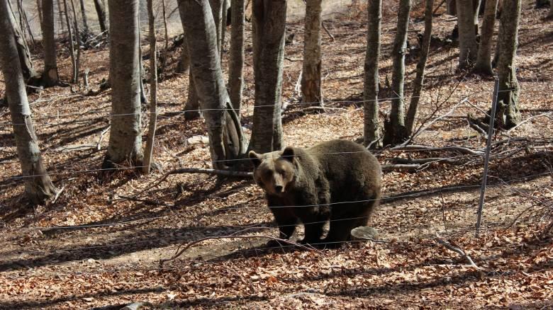 Αρκτούρος: Ξύπνησαν οι αρκούδες μετά τη χειμερία νάρκη
