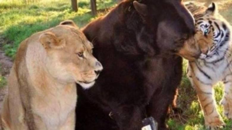 Η ασυνήθιστη φιλία ενός λιονταριού, ενός τίγρη και μιας αρκούδας...