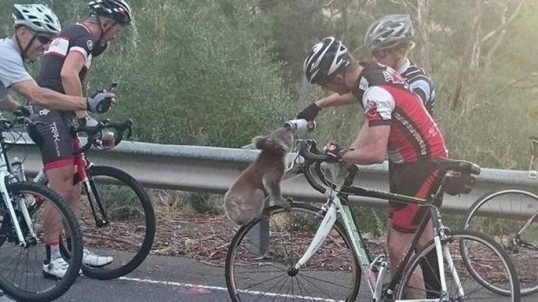 Διψασμένο κοάλα σταματά ποδηλάτες για λίγες σταγόνες δροσιάς (pic)