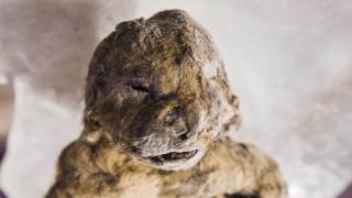 Κλωνοποιούν το προϊστορικό λιοντάρι της Σιβηρίας