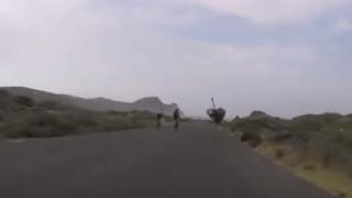 Στρουθοκάμηλος πήρε ποδηλάτες στο κυνήγι (vid)