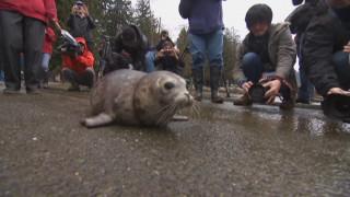 Φώκια επιστρέφει στο φυσικό της περιβάλλον