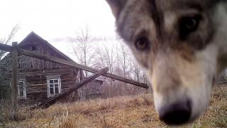Τα άγρια ζώα του Τσέρνομπιλ