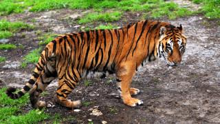 Αυξάνεται ο αριθμός των τίγρεων