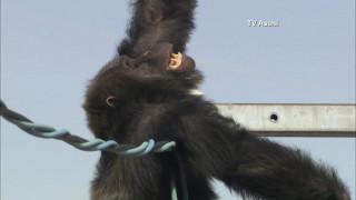 Η απίστευτη διάσωση ενός χιμπατζή στην Ιαπωνία
