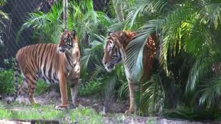 Φρικτός θάνατος: Τίγρης κατασπάραξε την εκπαιδεύτριά του
