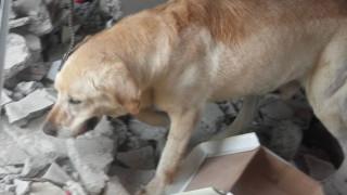 Σεισμός Εκουαδόρ: Σκύλος-διασώστης πέθανε αφού πρώτα έσωσε επτά ζωές