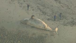 Γιγάντια φάλαινα βάρους 27,5 τόνων ξεβράστηκε στην Καλιφόρνια