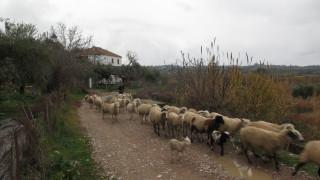 Βέροια: Υπόθεση 2.500 ζώων χωρίς σήμανση διερευνούν οι αρχές