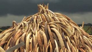 Η Κένυα καίει 105 τόνους ελεφαντόδοντου