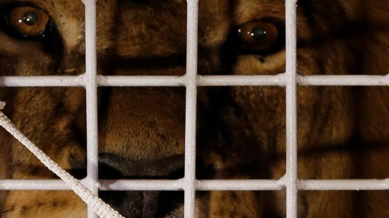 Στο φυσικό τους περιβάλλον επιστρέφουν 33 λιοντάρια που σώθηκαν από τσίρκο