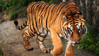 Δραπέτευσαν δύο τίγρεις από καταφύγιο στην Ολλανδία