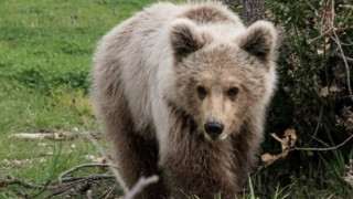 Ο Πάτρικ ο αρκούδος προτίμησε τη συμβίωση με τους ανθρώπους από τη φύση (video+pic)