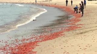 Η ακτή «βάφτηκε» κόκκινη: Χιλιάδες κόκκινα καβούρια ξεβρασμένα στην αμμουδιά