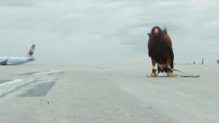 Εκπαιδεύοντας γεράκια ως ιπτάμενους φύλακες των αεροδρομίων