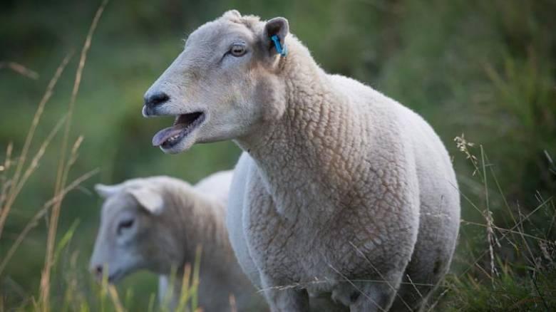 Πρόβατα έφαγαν κάνναβη και έπαθαν αμόκ