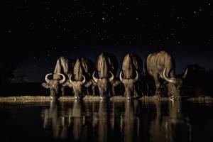Βουβάλια τη νύχτα στη νότια Αφρική