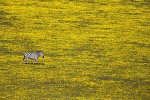 Η μοναξιά μιας ζέβραςστο Εθνικό Πάρκο Serengeti της Τανζανίας