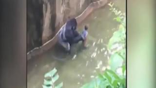 Θρίλερ σε ζωολογικό κήπο: Τετράχρονος πέφτει σε κλουβί γορίλα (video)