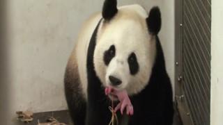 «Γεύση» μητρότητας για ένα panda